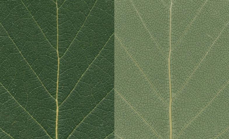 Leaf Texture 001 Birch Nordicfx