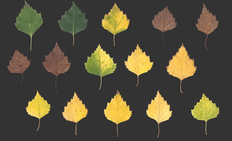 Leaf Texture 002 Birch Autumn Nordicfx